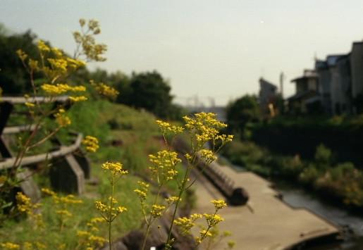 写真: オミナエシ 02