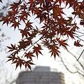 写真: 品濃中央公園のモミジ 01
