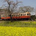 写真: 小湊鉄道の菜の花 04