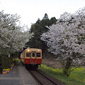 写真: 小湊鉄道の桜 18