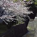 写真: 東戸塚の桜 02