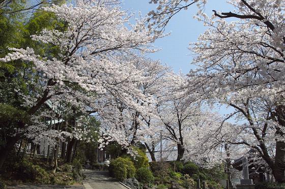 写真: 東戸塚の桜 18
