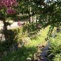 写真: 舞岡公園01 サルスベリ