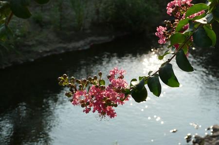 川辺のサルスベリ