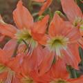 素敵なお花(カンボジア)