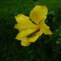 黄色いお花(ハイビスカス)にバッタ