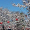 26.4.13西公園の桜