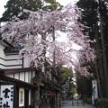 26.4.17松島・洗心庵前の枝垂桜