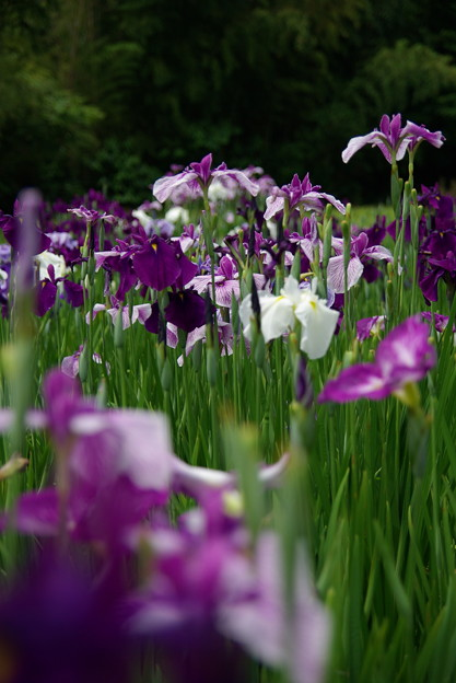 写真: 咲き揃う