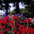 Photos: 赤い花の咲いた花壇